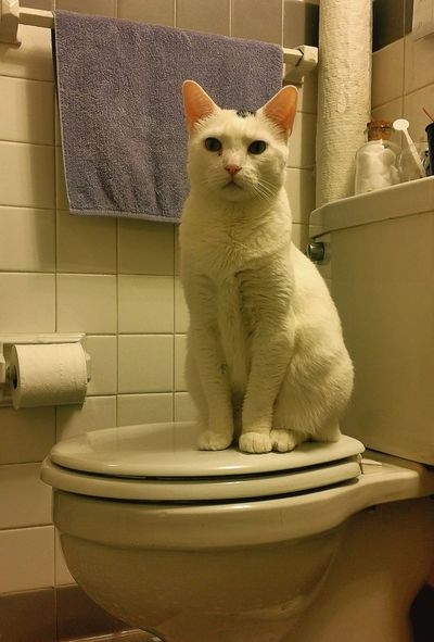 Toilet Art Catoftheday Mycatisthebest Animal_captures Pet Therapy MyLove❤ In The Bathroom