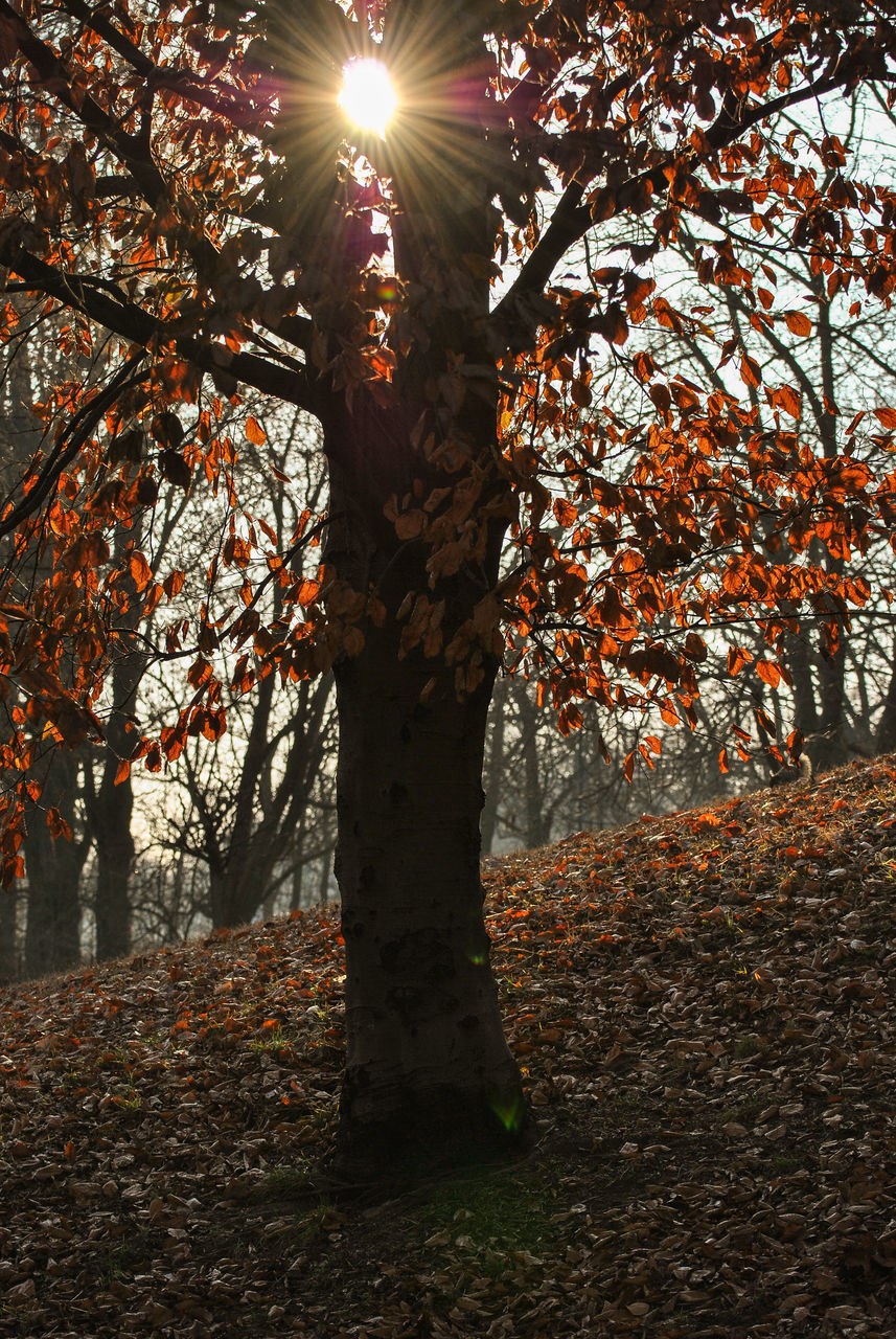 tree, plant, autumn, change, nature, growth, beauty in nature, day, tree trunk, tranquility, leaf, plant part, trunk, no people, sunlight, outdoors, sunbeam, branch, sun, land, lens flare, leaves, bright, streaming