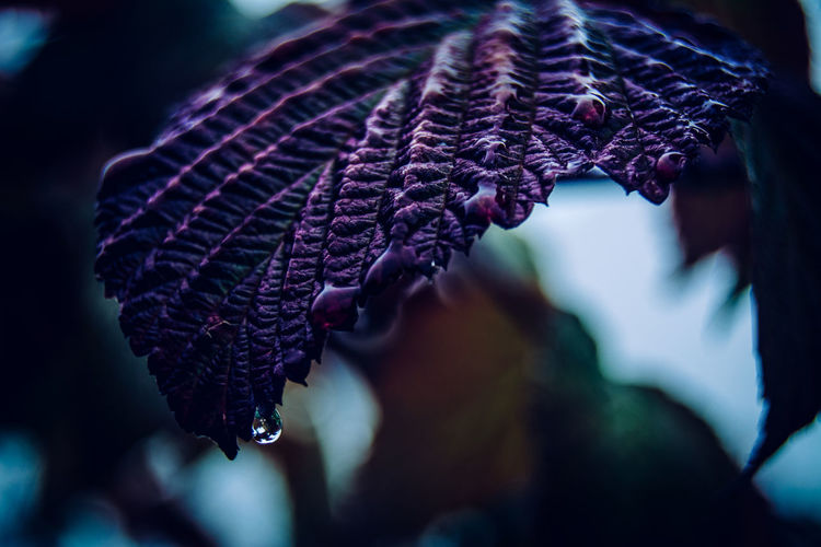 Close-up of wet purple leaf