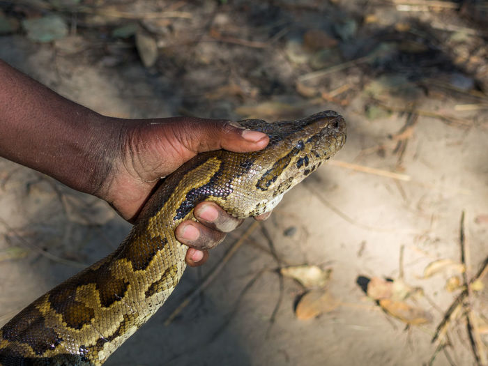 High angle view of man head of african rock python, zambia, africa