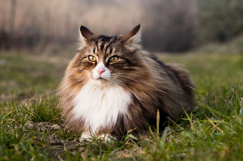 Beautiful norwegian forest cat lying on the grass.