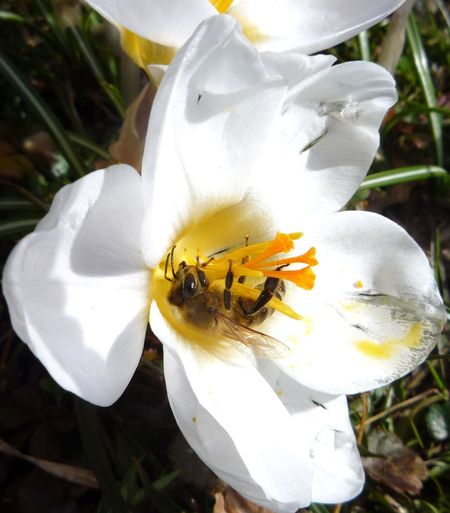 #bee #crocuses #frühling #krokusse #spring Animal Themes Beauty In Nature Blooming Close-up Flower Flower Head Freshness Growth Insect Nature No People One Animal Pollination