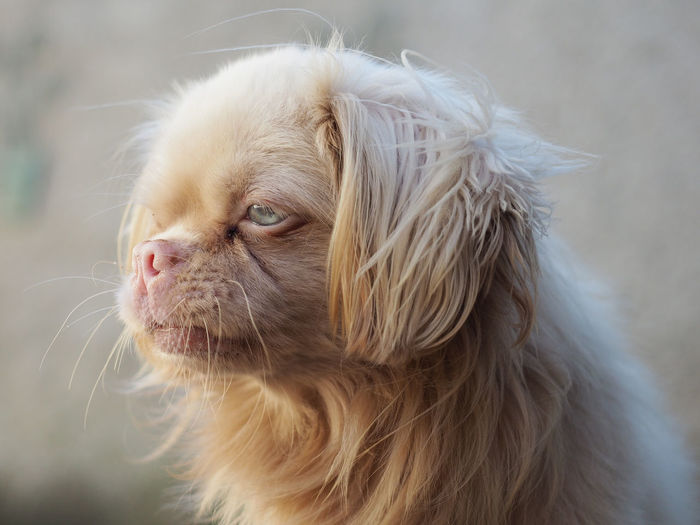Very beautiful pechinese dog with blue ey Animal Animal Body Part Animal Hair Animal Head  Animal Themes Canine Close-up Dog Domestic Domestic Animals Focus On Foreground Hair Lap Dog Looking Looking Away Mammal No People One Animal Pechinesedog Pets Profile View Shih Tzu Small Vertebrate Whisker