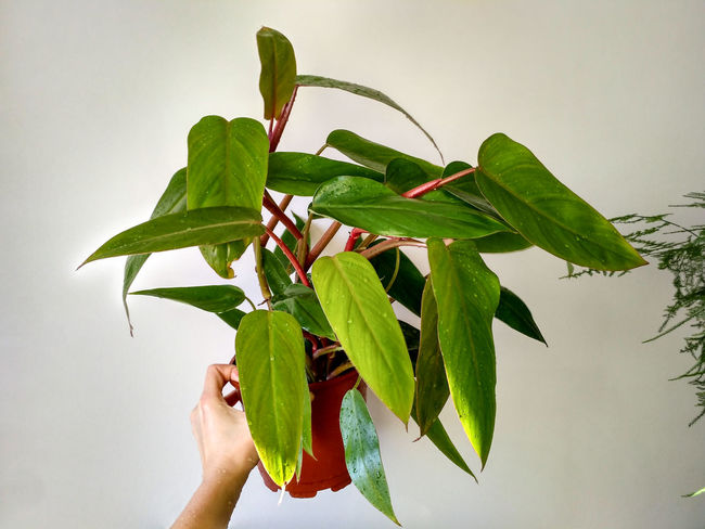 Philodendron Erubescens Red Emerald foliage, plant in hand, houseplant in horizontal orientation, nobody. Philodendron Erubescens Philodendron Red Emerald Foliage Houseplant Leaf Green Color Plant Nature Hand Holding Unrecognizable Person Studio Shot Leaves