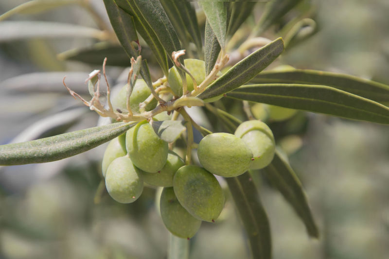 green Olives at the Olive tree Olive Tree Portugal Beauty In Nature Branch Close-up Day Focus On Foreground Food Food And Drink Freshness Fruit Fruit Photography Fruits Green Color Growth Healthy Eating Leaf Nature No People Olive Olives Outdoors Plant Plant Part Tree