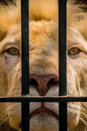 Close-up portrait of lion seen through metal fence