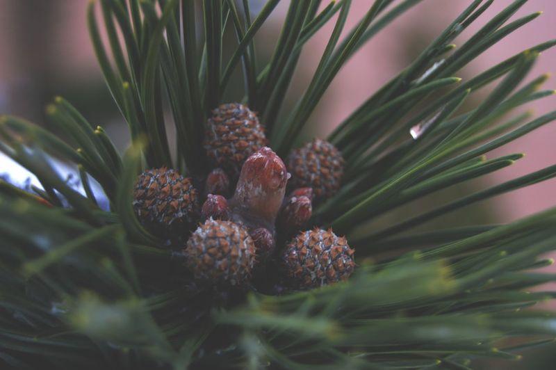 Urban nature Tree Pine Tree Pinaceae Photograph Close-up Plant Sky Pine Cone Needle - Plant Part Pine Wood Plant Life Evergreen Tree Spruce Tree