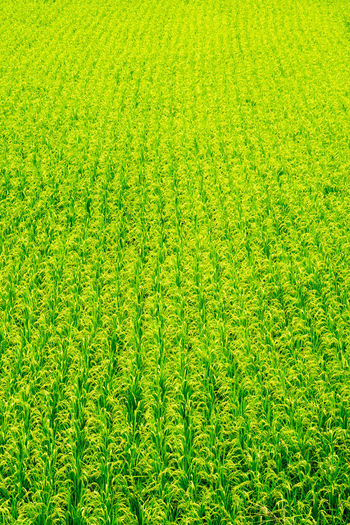 田んぼ Agriculture Field Grass Green Green Color Growth Nature Nature Photography Olympus Rice Cultivation Agricultural Land Agriculture Photography Nature_collection Naturephotography Olympus Om-d E-m10 Paddy Field Rice Field Hiroshima Japan