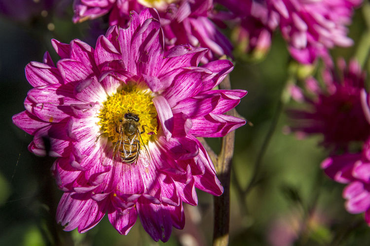Walking in my garden Animal Themes Animal Wildlife Animals In The Wild Beauty In Nature Bee Blooming Close-up Day Flower Flower Head Focus On Foreground Fragility Freshness Growth Insect Nature No People One Animal Outdoors Petal Pink Color Plant Pollen Pollination Purple EyeEmNewHere