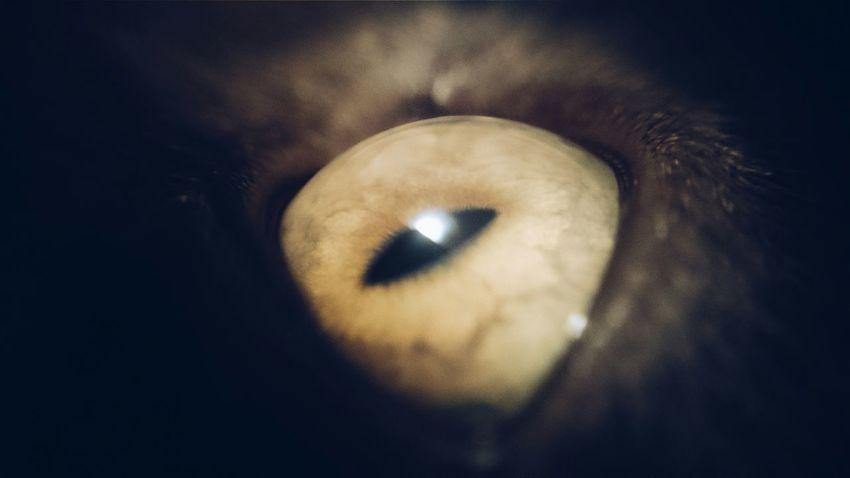 Cat Cats Eye Macro Macroshot Britishshorthair