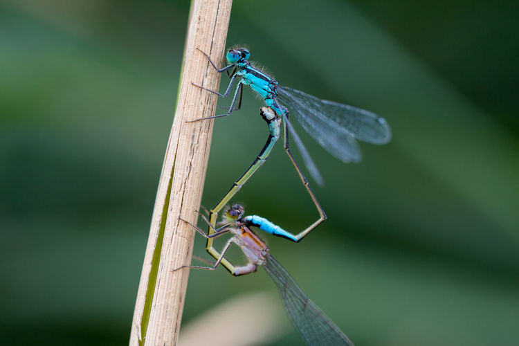 Close-up of two dragonfly insects