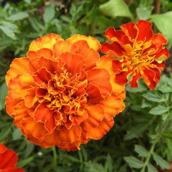 Beauty In Nature Botany Flower Orange Color Oeillet Oeillet D'inde