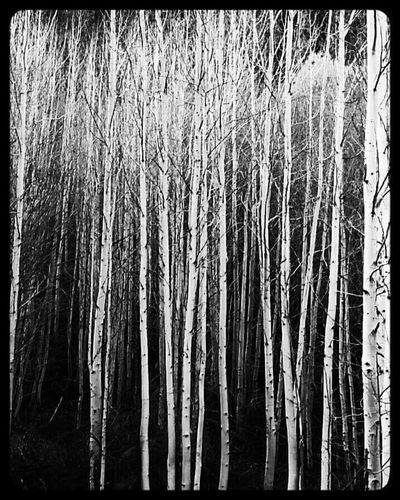 Bendoregon Aspens Nature_collection Tree Lover Fall Beauty Descutes Trees EyeEm Gallery Oregon