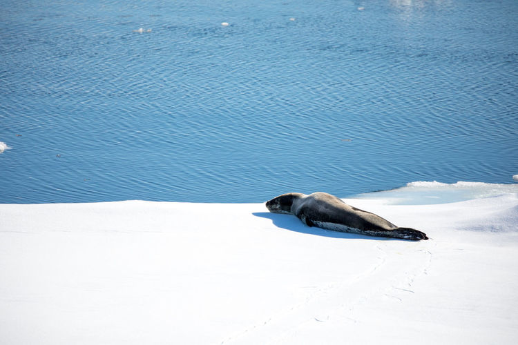 Animal Animal Themes Animal Wildlife Animals In The Wild Beauty In Nature Bird Cold Temperature Day High Angle View Marine Nature No People One Animal Sea Snow Vertebrate Water White Color Winter