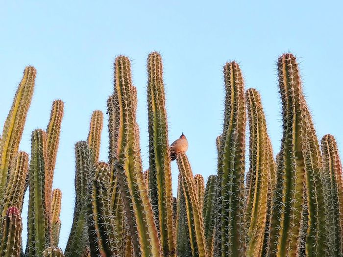 Dove resting atop a cactus Dove Bird Growth Cactus Saguaro Cactus Plant Nature Day No People Clear Sky Low Angle View Beauty In Nature