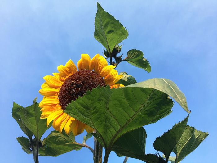 Summer Sunflower Blue Green Brown Plant Leaf Plant Part Growth Beauty In Nature Nature Vulnerability  Flower Flowering Plant Freshness Flower Head No People Petal Sky Yellow Day Close-up Low Angle View