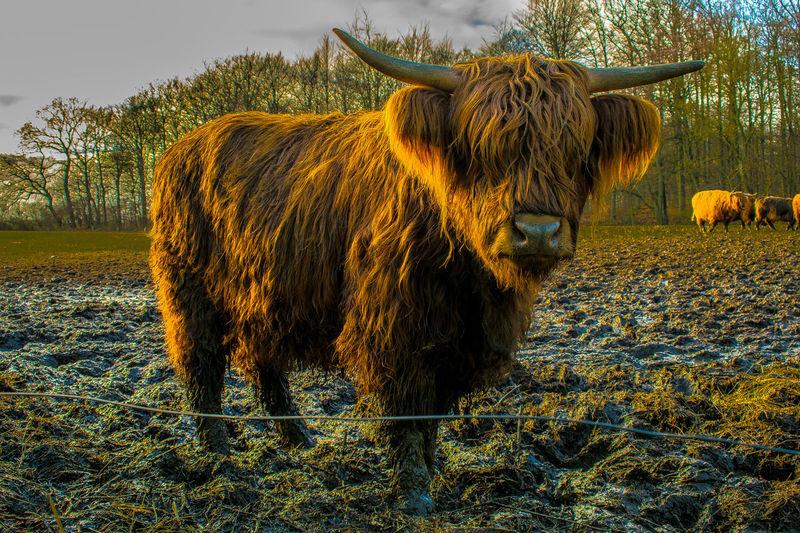 #animal #beast #bignose #bigone #cow #field #gentleman #hair #horns #lightroom #loveme #mud #scotland #scottishfold