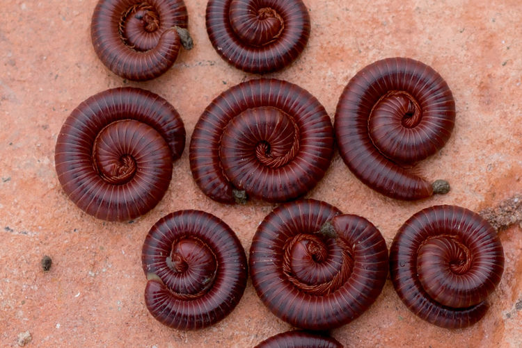 millipedes Many legs Millipede Diplopoda Millipedes Invertebrate Spiral Close-up Pattern กิ้งกือ Insect Insects  Red Many Legs