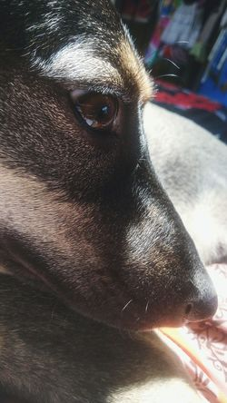 Nova, my pet dog.. Pets Dogs Close-up HoundDog
