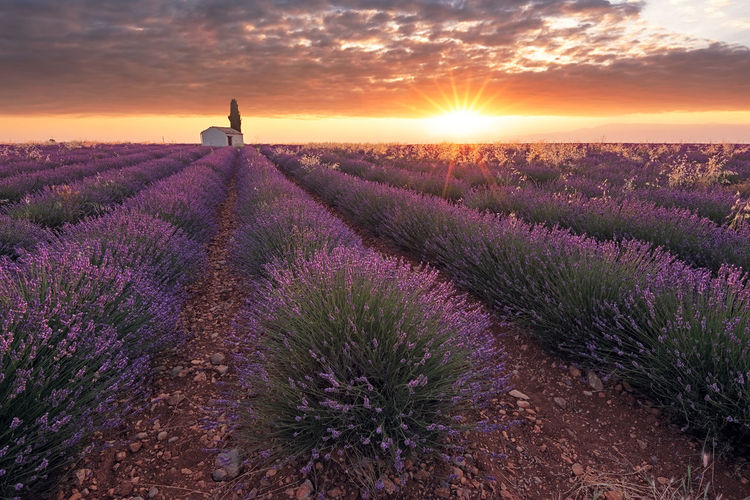 Summer memories Agriculture Beauty In Nature Bright Clouds Field Flower Flower Head Flowering Plant Growth Land Landscape Lavender Lavender Colored Nature Orange Color Outdoors Plant Purple Romantic Sky Scenics - Nature Sky Summer Sun Sunrise Tranquility