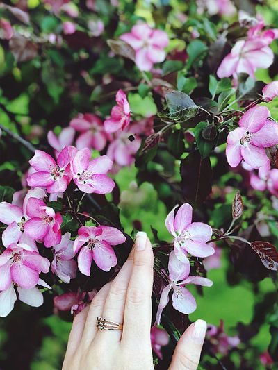 Franch In Bloom Apple Blossom Hand Human Hand Plant Human Body Part Focus On Foreground One Person Close-up Flowering Plant Flower Freshness Pink Color Nature Day Lifestyles Human Finger Real People Finger Personal Perspective Women