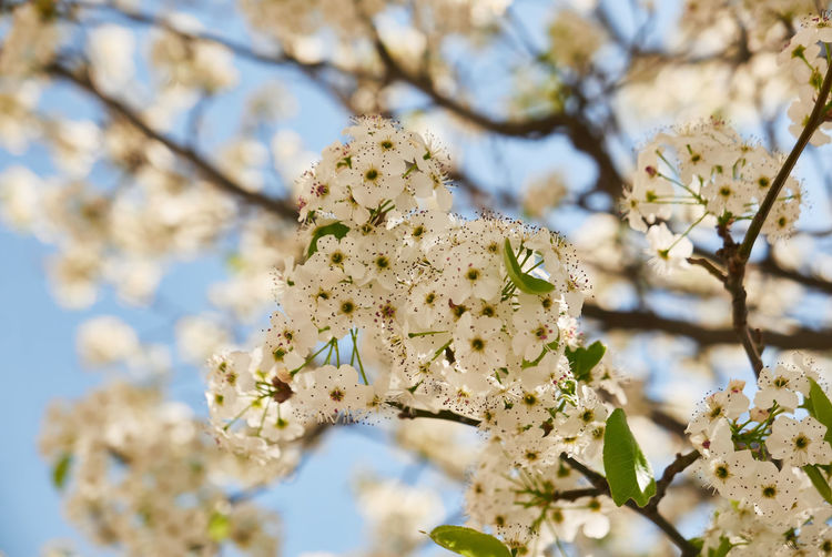 Plant Flower Flowering Plant Growth Fragility Beauty In Nature Vulnerability  Tree Close-up Freshness Branch No People Springtime Blossom Focus On Foreground Day Nature Low Angle View Twig Selective Focus Outdoors Flower Head Cherry Blossom