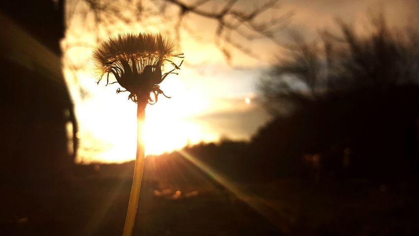 Plant Sun Nature Fragility EyeEm Golden Hour Pensive Contre Jour Nature Is Art Maximum Closeness Eyem Best Shots
