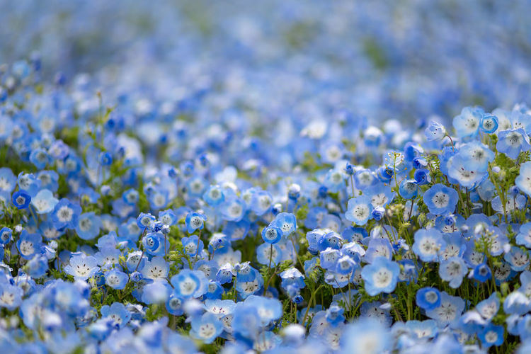 Flower Flowering Plant Plant Freshness Beauty In Nature Selective Focus Fragility Vulnerability  Close-up Nature No People Blue Day White Color Growth Backgrounds Full Frame Springtime Petal Outdoors Flower Head Purple Flowerbed Nemophila
