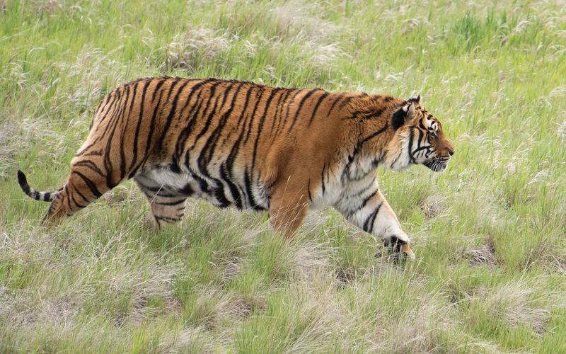 Animal Animal Themes Animal Wildlife Big Cat Carnivora Feline Field Grass Mammal Nature No People One Animal Profile View Side View Tiger