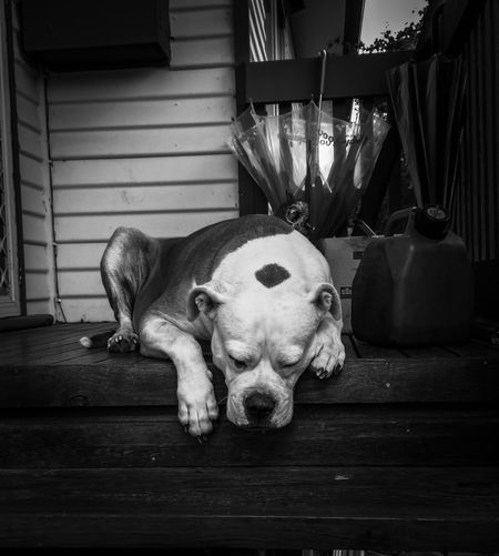Portrait of a dog resting