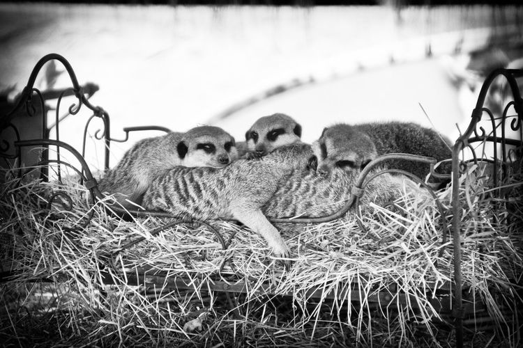Bed Bedtime Meerkat Animal Themes Animals In The Wild Black And White Black And White Friday Blackandwhite Photography Bw Bw_collection Day Grass Mammal Nature No People Outdoors Sleeping Togetherness Young Animal
