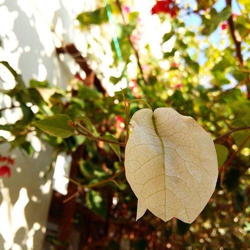 Mersin Tasucu Begonvilçiçekleri Beyazbegonvil Kırmızıbegonvil Kışgüneşi