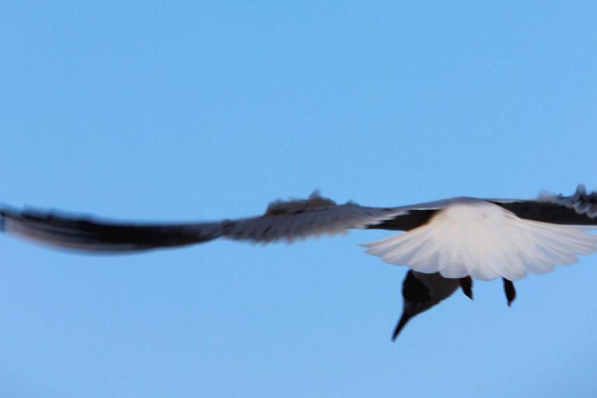 Blauerhimmel Fliegen Vogel Birds Bird Bird Photography EyeEm Birds Flyingbirds Flyingbird Flying High