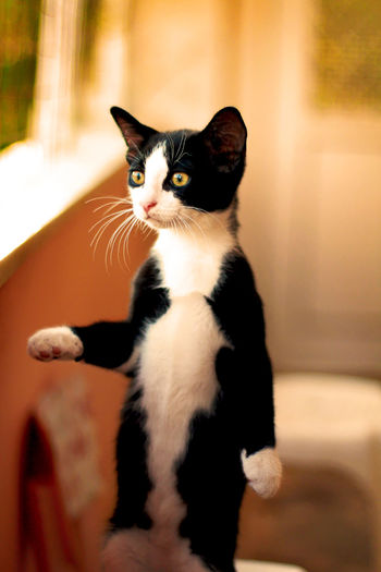 A tuxedo cat standing on his two feet , curious for the world around him . Animal Themes Close-up Domestic Animals Domestic Cat Feline Indoors  No People One Animal Pets Portrait Standing Cat Pet Portraits