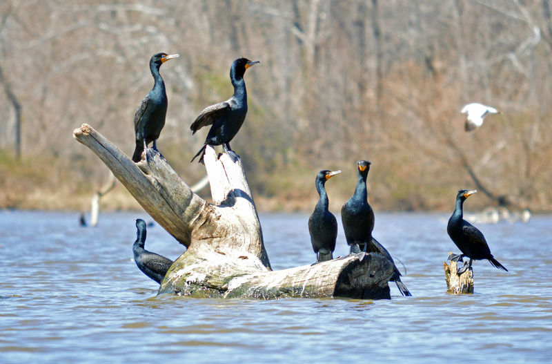 Group of cormarants hanging out at the lake Bird Photography Birds🐦⛅ Commarants Group Of Birds Recreation  Animal Themes Animal Wildlife Animals Hanging Out Animals In The Wild Beauty In Nature Bird Birdwatching Bird Photography Birdseye View Cormorant  Flock Of Birds Focus On Foreground Group Of Animals Lake Large Group Of Animals Nature Outdoors Perching Water Water Bird Water Scenic Nature. Waterfront
