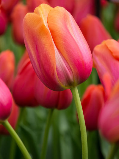 Beauty In Nature Blooming Bokeh Close-up Flower Flower Head Focus On Foreground Fragility Freshness Growth Holland In Bloom Kaukenhof Lalea Lalele Lumix Microfourthirds Mirrorless Nature Olanda Orange Petal Pink Pink Color Tulips
