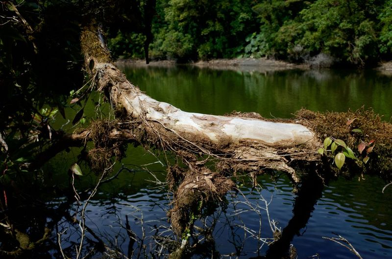 Water Tree Lake Plant Reflection Nature Tranquility Beauty In Nature No People Day Growth Waterfront Forest Scenics - Nature Tranquil Scene Trunk Outdoors Tree Trunk Driftwood Volcano Costa Rica