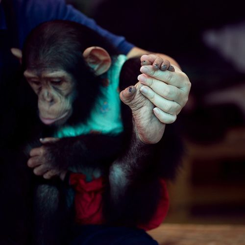 Monkey Chimpanzee Primate Mammal Ape Indoors  Focus On Foreground Animal Wildlife People Art And Craft Representation Looking Away Holding Night Close-up Looking
