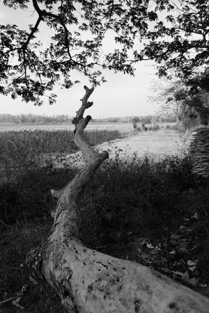 Come Close Tree Plant Tranquility Nature Trunk Tree Trunk Day Sky Environment Landscape Non-urban Scene Wood Branch Outdoors Forest No People #trembesitree #lasem #trembesi Land Growth Tranquil Scene #Blackandwhitephotography #trembesi