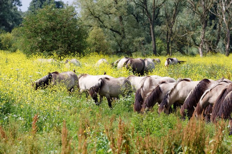 Row of Wild Konik Horses Minding their Business Oostvaardersplassen Animals In The Wild Landscape Summertime