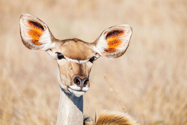 Portrait of deer on field
