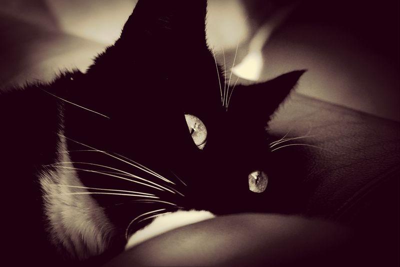 Zorro Cats Pets Black And White Pet Photography  A6000