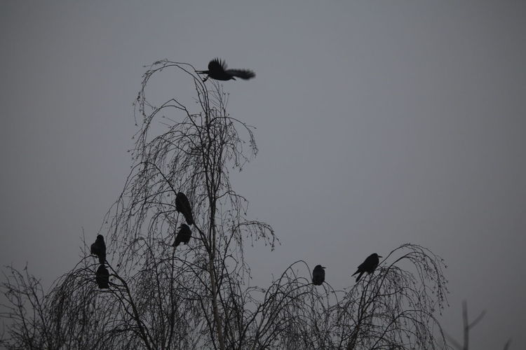Low angle view of silhouette birds on bare tree against sky