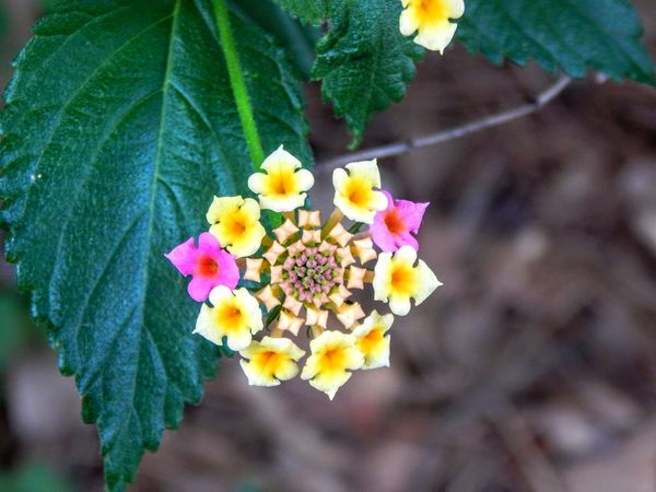 Flower Head Flower Multi Colored Lantana Camara Yellow Leaf Petal Park - Man Made Space Close-up Plant Blooming Single Flower Cosmos Flower Plant Life In Bloom Fragility Botany Periwinkle