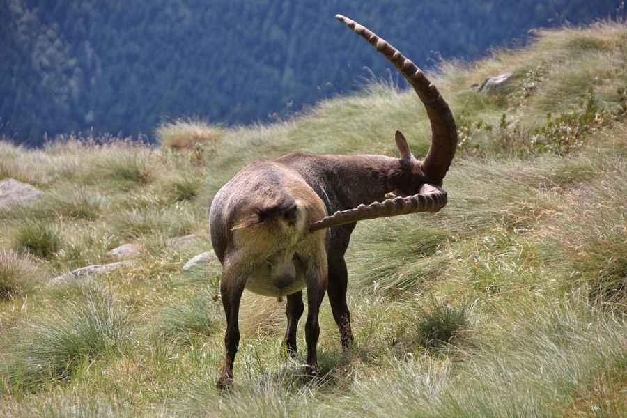 Bergamo Horns Lombardy Orobie Steinbock Trekking Excursions Horn Italy Male Mammal Mountain Orobian Alps Orobie Alps Rifugio Coca Trekker