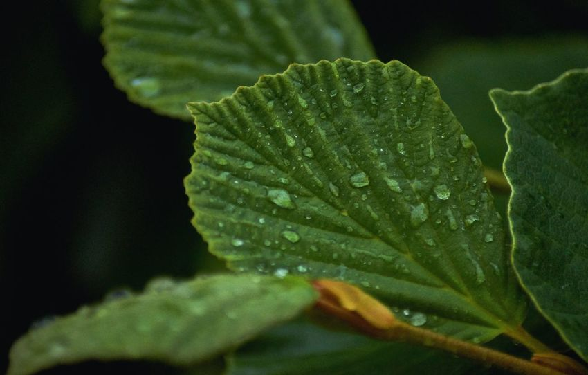 Leaf with raindrops 2 Green Color Growth Plant Close-up Beauty In Nature Leaf Plant Part Nature No People Water Drop Wet Freshness Outdoors Day Focus On Foreground Selective Focus Fragility Tranquility Leaves