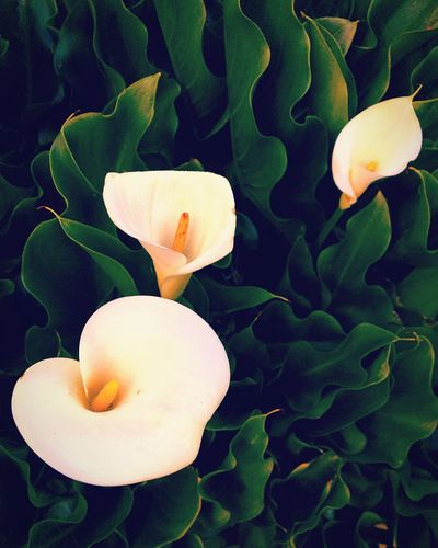 Calla lilies. Callalily Flowers PNW Nature Garden