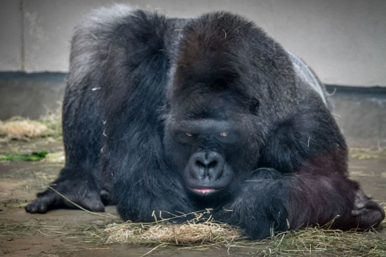 Animal Wildlife Animals In The Wild Ape Black Color Care Close-up Day Emotion Lying Down Mammal No People One Animal Outdoors Portrait Primate Relaxation Vertebrate