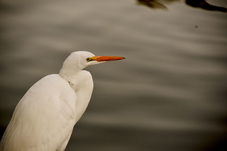 Close-up of great white egret