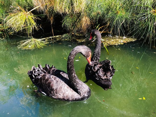 Black Swan Water Lake Animal Wildlife Animal Themes Animal Animals In The Wild Nature Swimming No People Day Waterfront Vertebrate High Angle View Outdoors Group Of Animals Green Color
